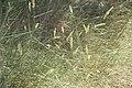 Festuca ovina-4411.jpg