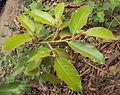Ficus drupacea 01.JPG