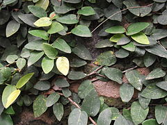 Ficus pumila-yercaud-salem-India.jpg
