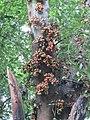 Ficus racemosa fruits at Peravoor (7).jpg