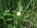 Field Pansy - Viola arvensis - geograph.org.uk - 1169854.jpg