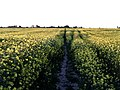 Field of Rapeseed - geograph.org.uk - 426917.jpg
