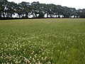 Field of clover, near Aylesbeare - geograph.org.uk - 1392937.jpg