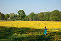 Field of dandelions (5659006546).jpg