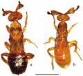 Figure-1-Males-of-Melittobia-parasitoid-wasps-a-M-acasta-b-M-australica-Scale-05.png