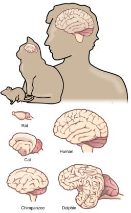 Figure 35 03 05 Brain size Vertical