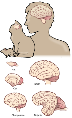 Brain size - Brain size and morphology varies considerably between different species.
