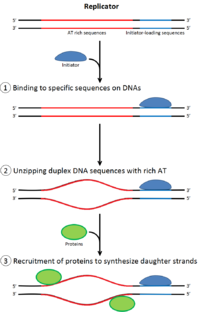 DNA replication - Wikipedia
