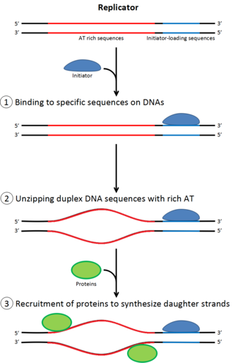 DNA replication - Role of initiators for initiation of DNA replication.