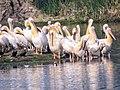 File. Pelicans.jpg
