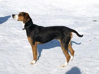 Finnish Hound - Image: Finnish Hound