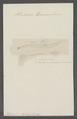 Firoloidea desmarestiana - - Print - Iconographia Zoologica - Special Collections University of Amsterdam - UBAINV0274 080 12 0018.tif