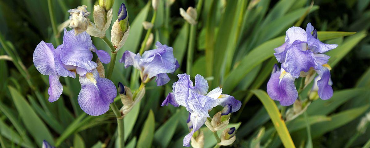 Flag Iris in Victorian garden Quex House Birchington Kent England.jpg