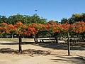 Flamboyant do Parque do Flamengo 05.jpg