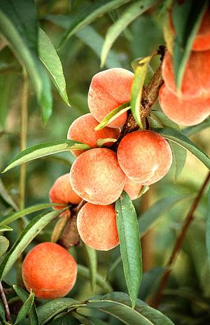 Peaches on a peach tree
