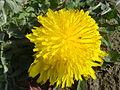 Fleur de pissenlit à Grez-Doiceau 001.jpg