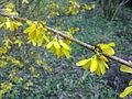 Fleurs de forsythia à Grez-Doiceau 002.jpg