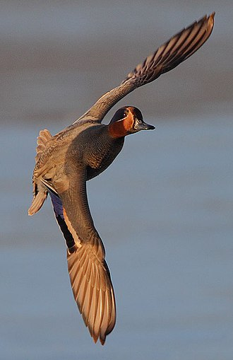 Eurasian teal - Image: Flickr Rainbirder Eurasian Teal in flight (cropped)