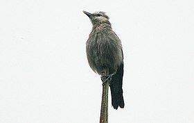 Flickr - Rainbirder - White-faced Starling (Sturnia albofrontata).jpg