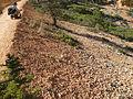 Flickr - brewbooks - Brenda photographing Aquilegia scopulorum (Utah columbine).jpg