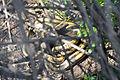 Flickr - ggallice - Rat snake with prey (2).jpg