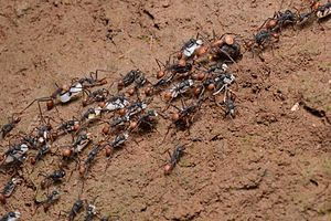 Army ant - E. vagans with larvae of a raided wasp nest