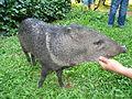 Flickr - megavas - cerdo salvaje.jpg
