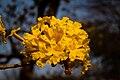 Flor-araguaney.jpg