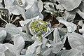 Flora de la Isla Sur-Nueva Zelanda09.JPG