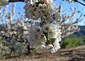 Flors de cirerer a la Vall de Gallinera, País Valencià.JPG