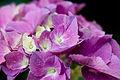 "Flower, Hydrangea ""Universal"" - Flickr - nekonomania.jpg"