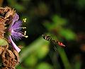 FlowerFlyOcy-2.jpg