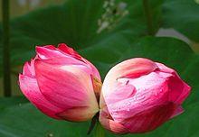 Bingdi lotus wikipedia flower budsg mightylinksfo