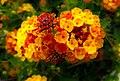 Flowers (34526551070).jpg