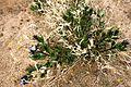 Flowers in Joshua Tree National Park (3433817274).jpg