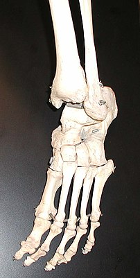 The bones in the foot