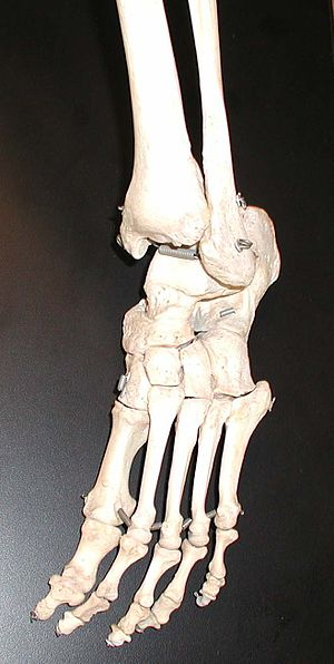 Tarsus (skeleton) - Image: Foot bones