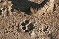 Footprint of a Lion.jpg