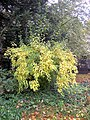Forsythia autumn color, herfstkleur.jpg