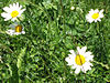 File:Four ox-eye daisies, growing in the grass.jpg