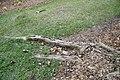 Fraxinus uhdei 5zz.jpg