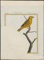 Fringilla flava - 1700-1880 - Print - Iconographia Zoologica - Special Collections University of Amsterdam - UBA01 IZ16000079.tif