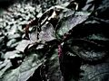 Frostry leaves.JPG