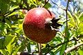Fruit trees עצי פרי (40).JPG