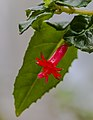 Fuchsia x bacillaris, Jardín Botánico de Múnich, Alemania, 2013-05-04, DD 01.jpg