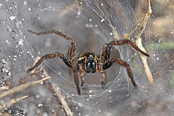 Funnel Web Wolf Spider - Sosippus, possibly floridanus?, Lake June-in-Winter Scrub State Park, Lake Placid, Florida - 15462284339.jpg
