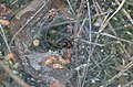 Funnel web spider (34651592680).jpg