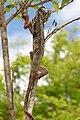 Furcifer Oustaleti Ambalavao Madagascar.jpg