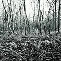 Galanthus nivalis in B-W In Druten (Netherlands) (25152503100).jpg