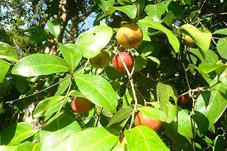 <i>Garcinia warrenii</i> Fruit tree